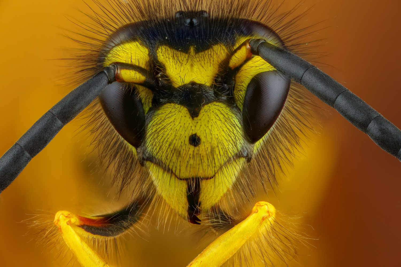 Wasp by Andrew Shapovalov