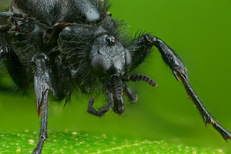 Bibionidae female by Andrew Shapovalov
