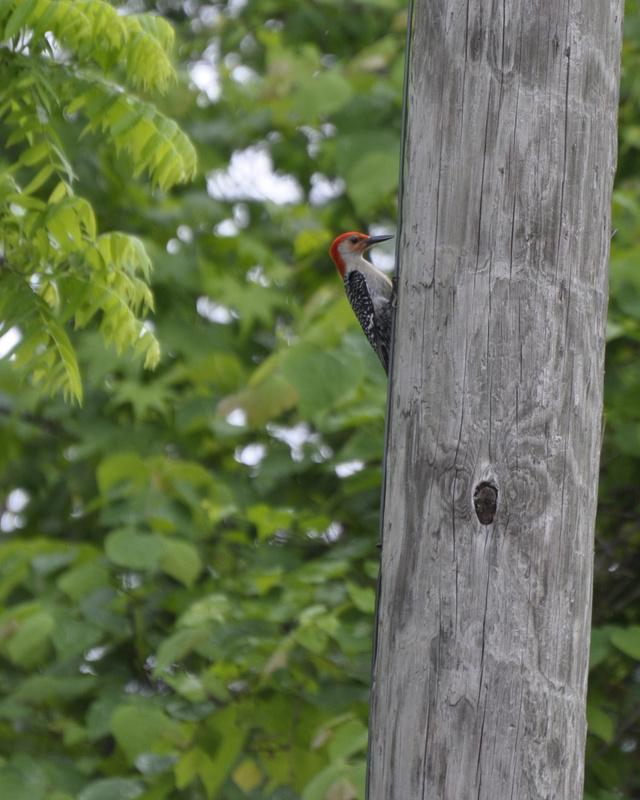 redhead woodpecker by lee arthur