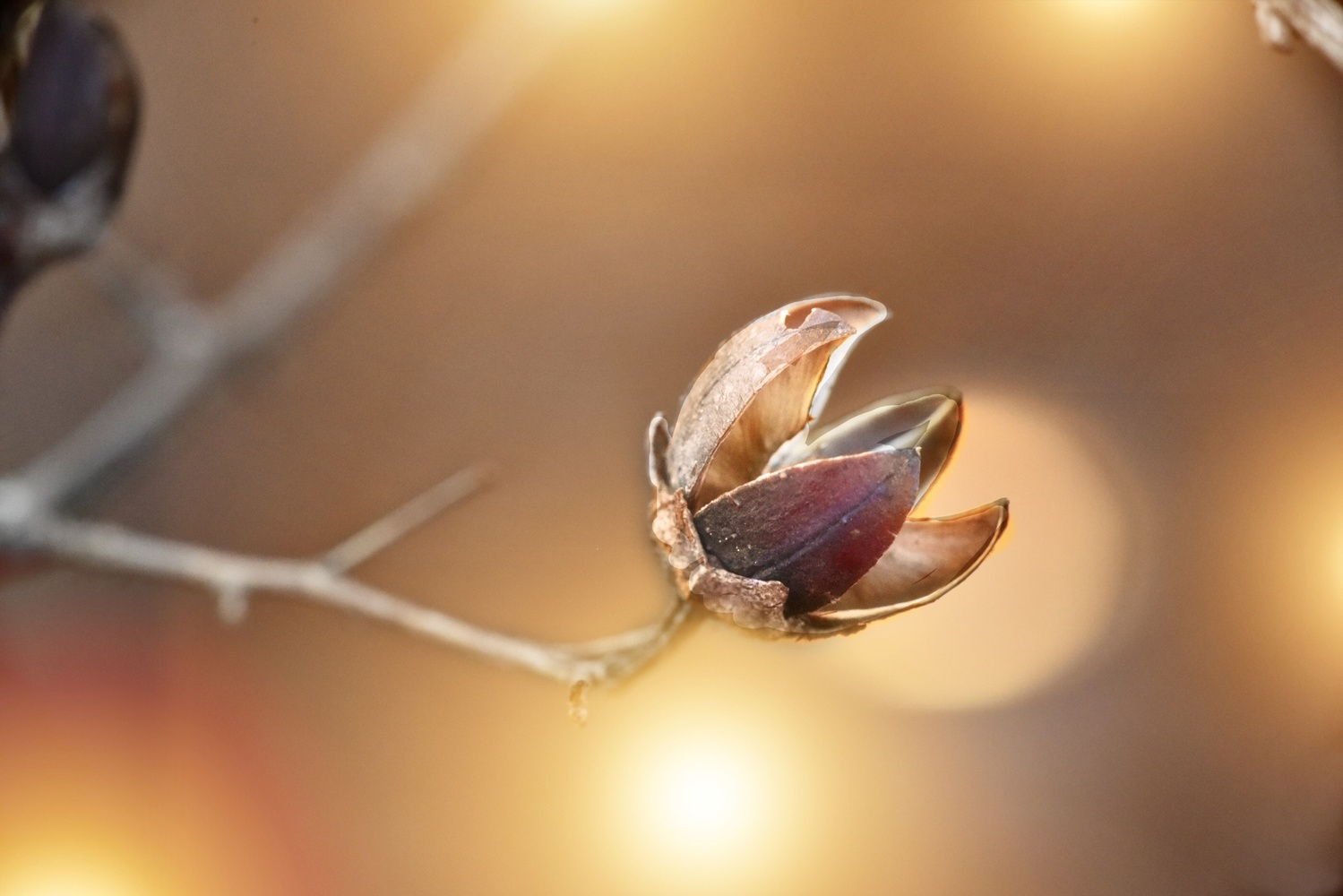 Twinkle little shell by Carla Petrillo