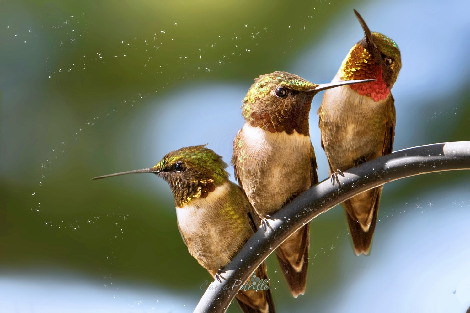 Hummers by Carla Petrillo