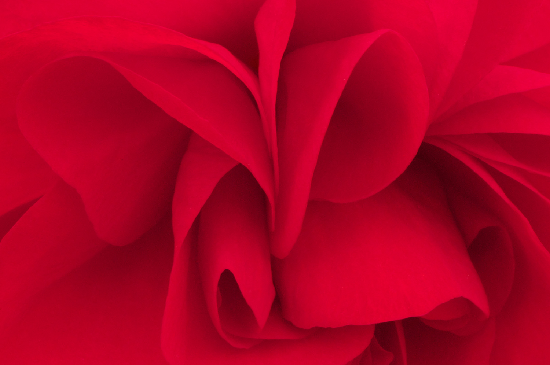Rose by John L