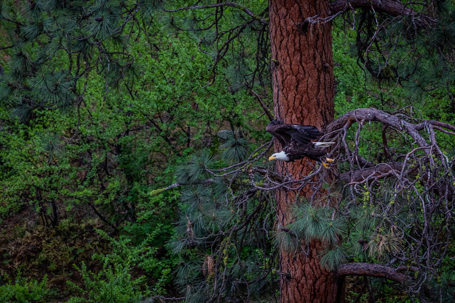 Bald Eagle in the Idaho wilderness by BENJAMIN THOMPSON