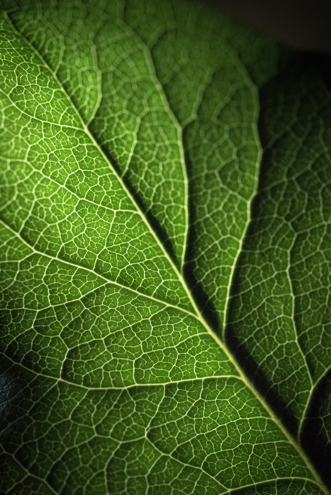 Still life of salal leaf by Colleen Johnson