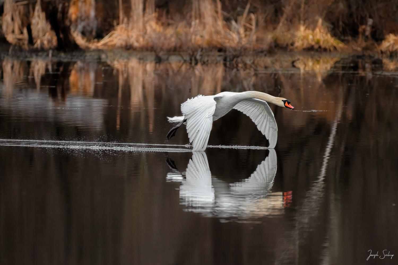 Swan Skimming Water by Joe Svelnys