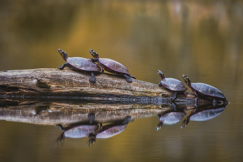 Painted Turtles by Joe Svelnys
