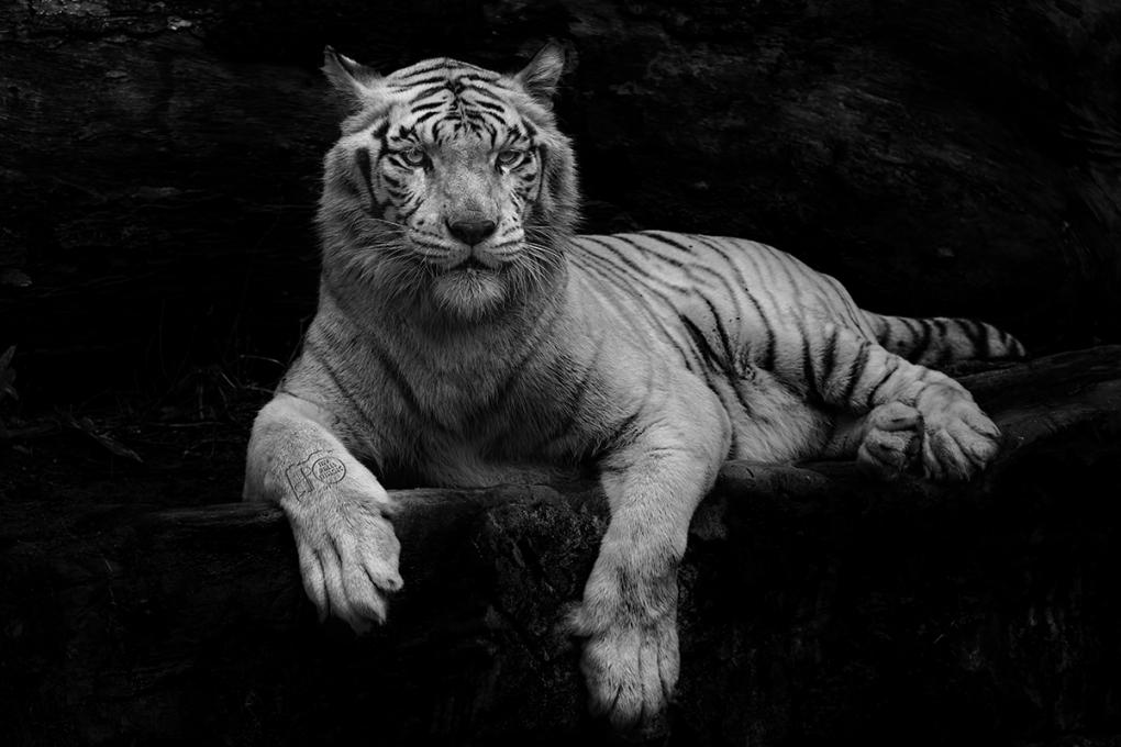 Royal by Partha Roy