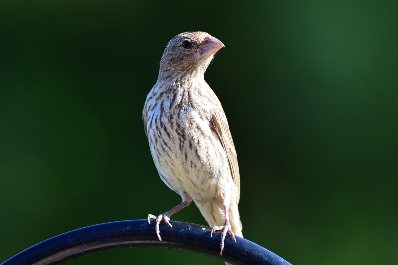 Finch by Greg Gero