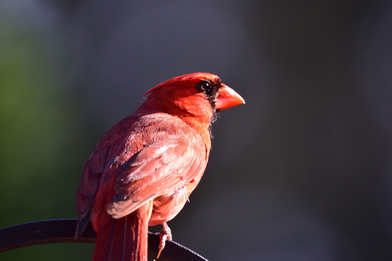 Cardinal by Greg Gero
