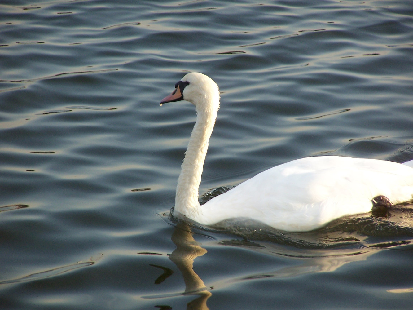 Swan by Greg Gero