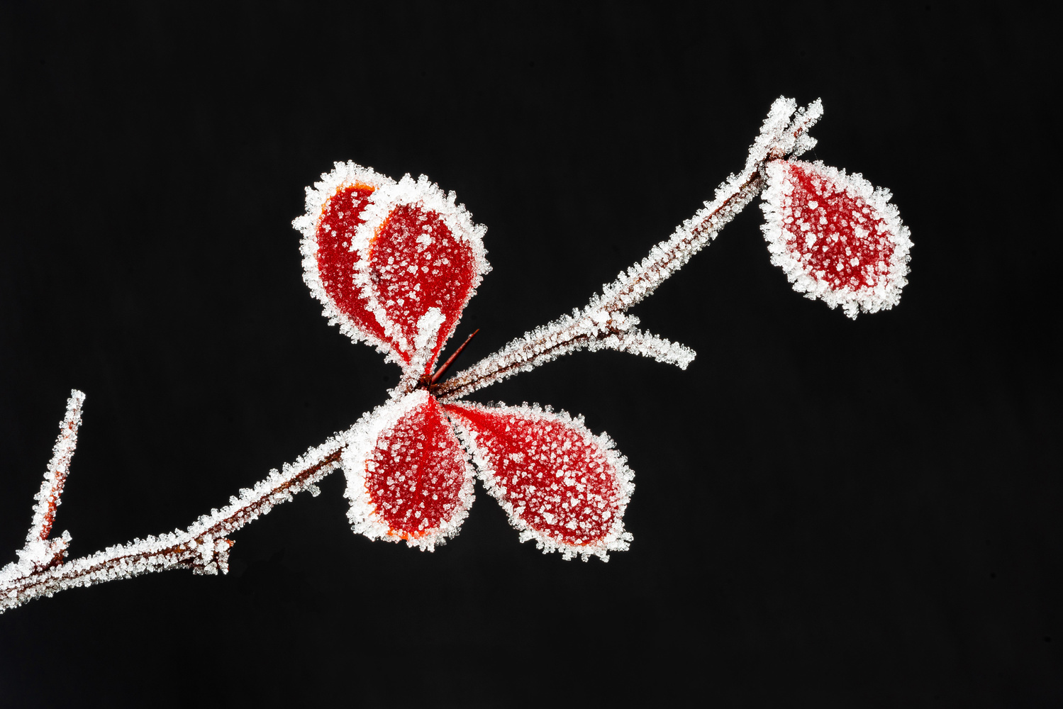 Red leaves with ice by Hans van Voorst