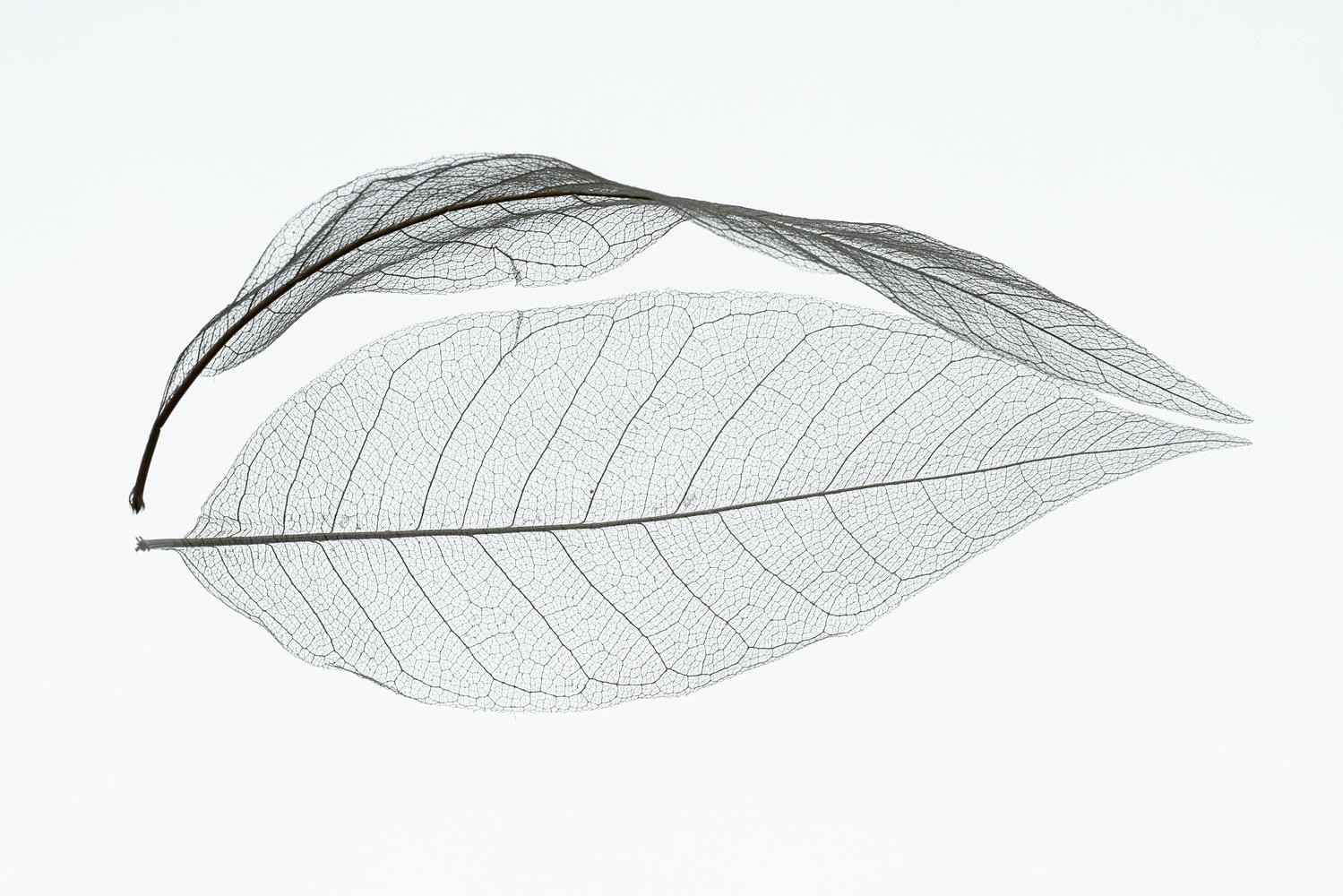 skeleton leaf by Hans van Voorst