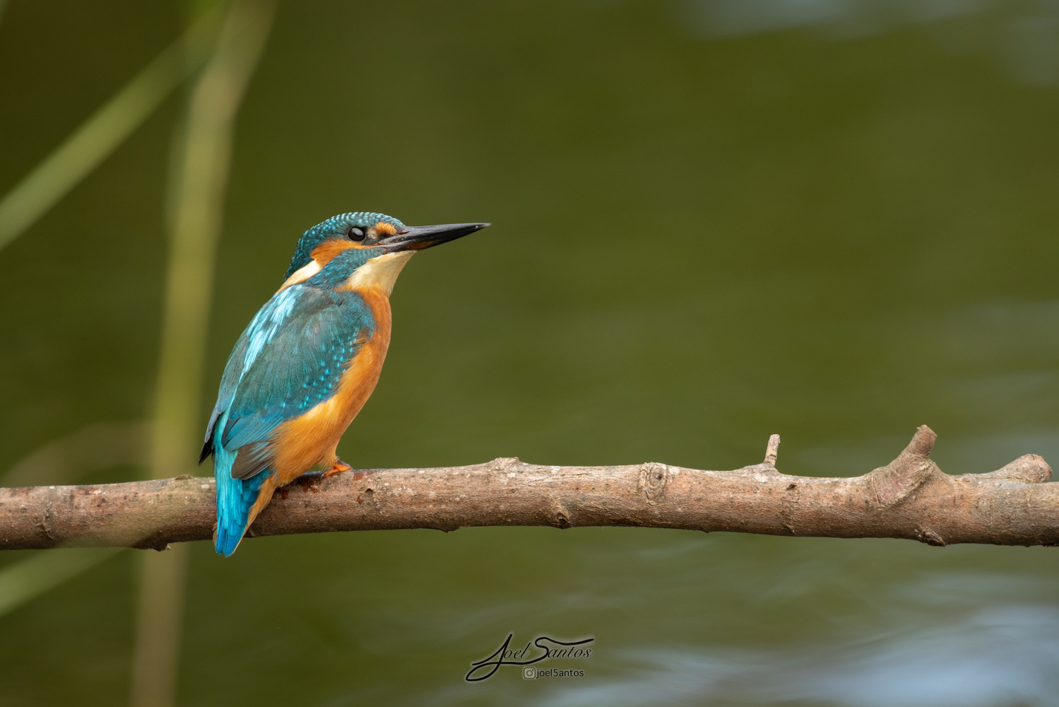 Kingfisher by Joel Santos