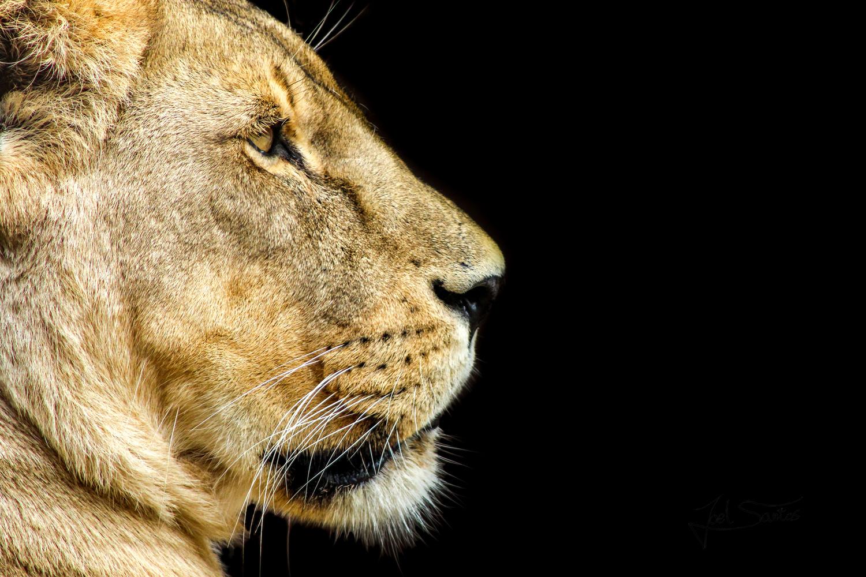 Lioness by Joel Santos