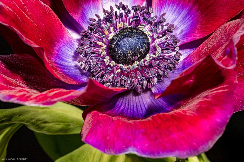 Anemone by joseph zmuda