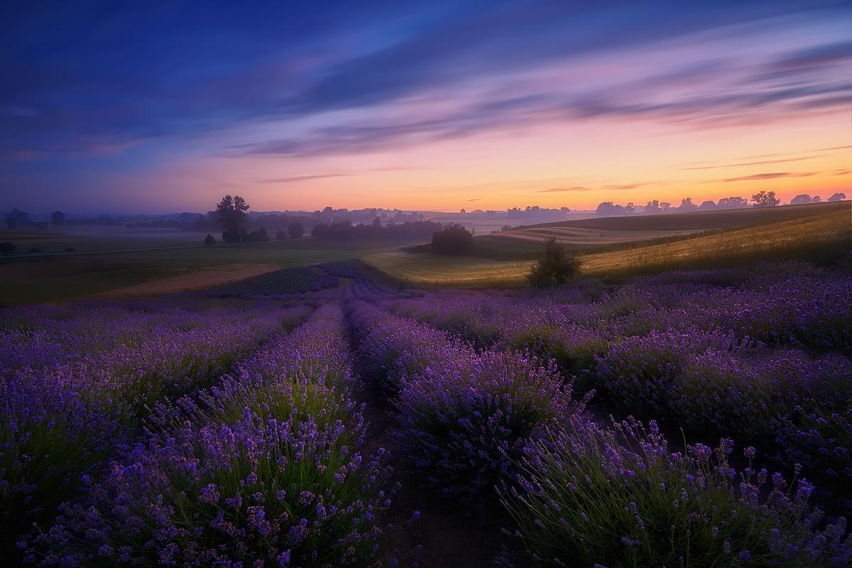 Lavender Field by Rafal Kani