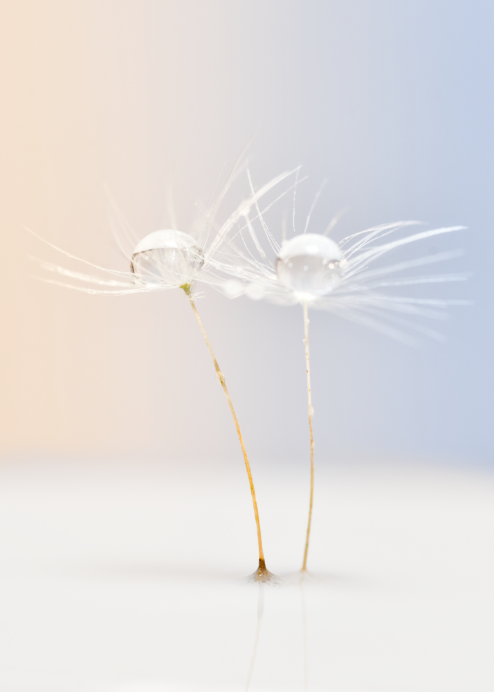 Twins dandelion's seeds by Stefano Barcella