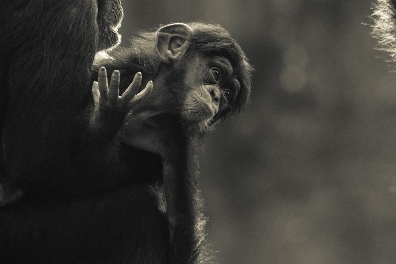 Monkey baby by Sebastian Dannenberg