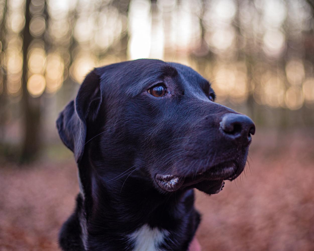 Tavi the Labrador by Sebastian Dannenberg