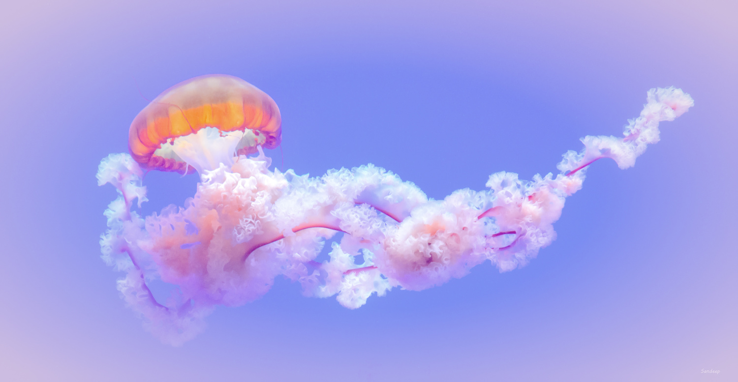 Jelly Fish by Sandeep Nigam