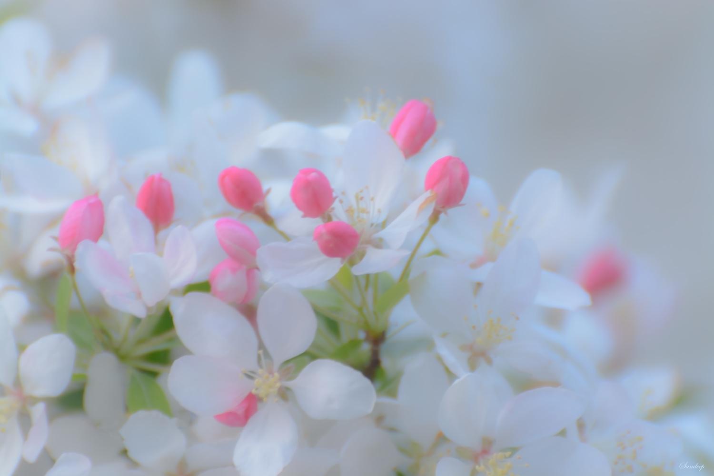 Cherry Blossom by Sandeep Nigam