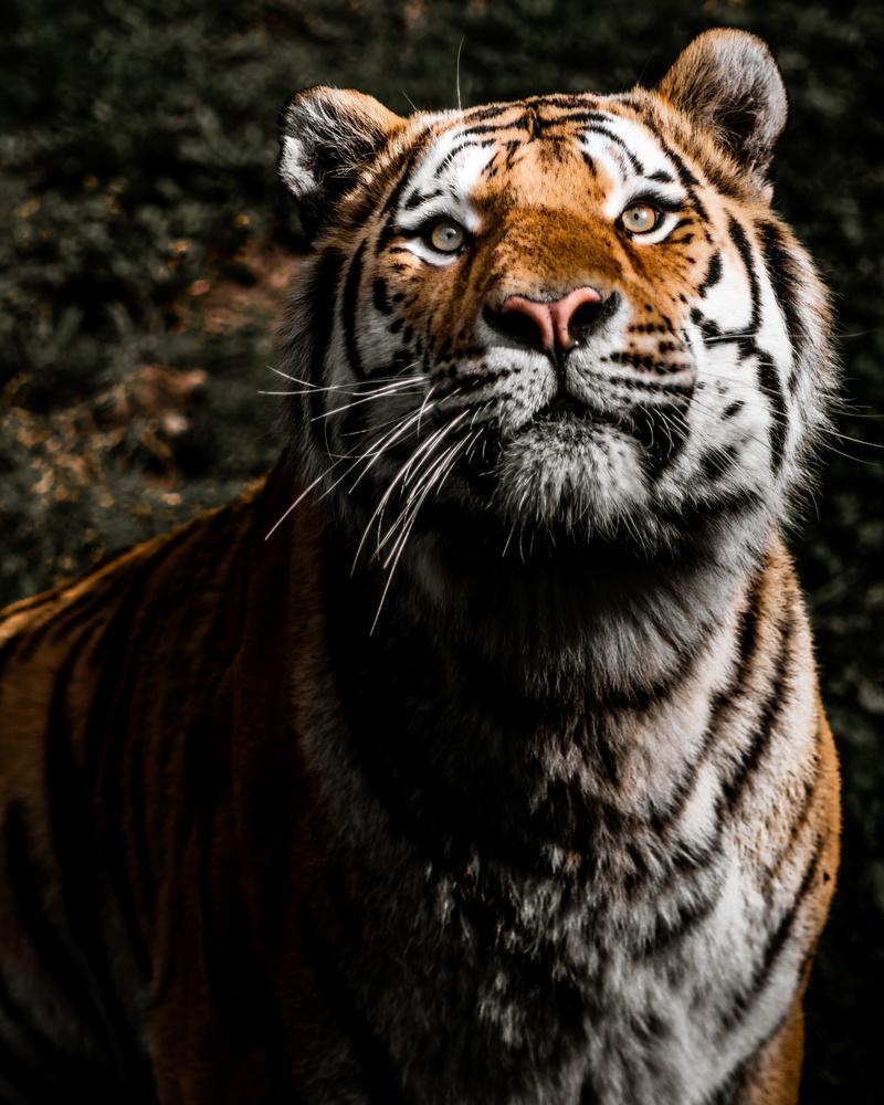 Tiger by Anton Brunnberg