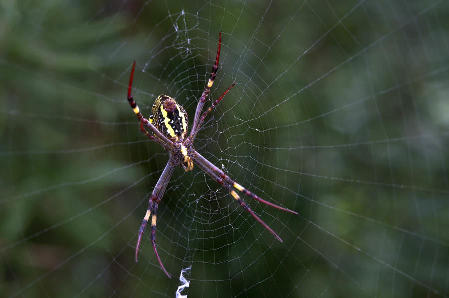 St Andrew's Cross Spider by Greg Pierce