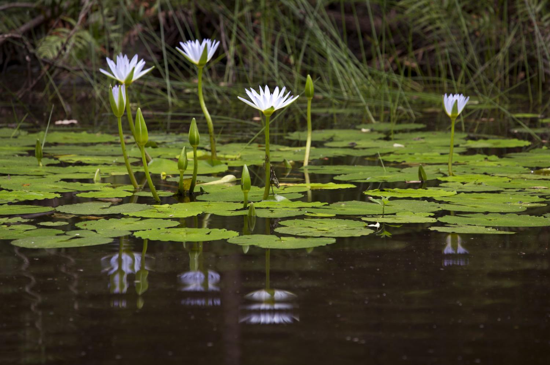 Waterlillys Number 04 by Greg Pierce