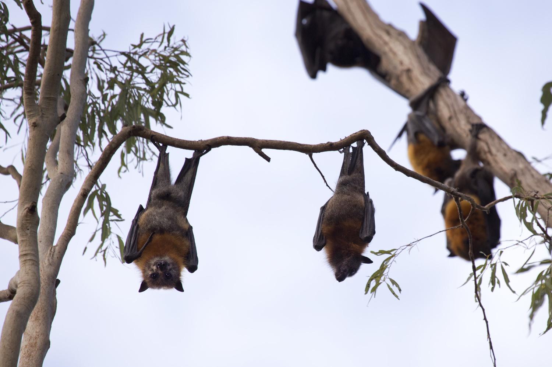 Fruitbats Hanging Around by Greg Pierce
