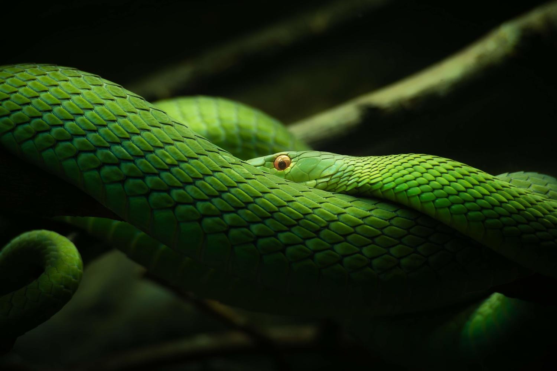 """""""The emerald queen"""" (green mamba) by Eneko Guerra"""