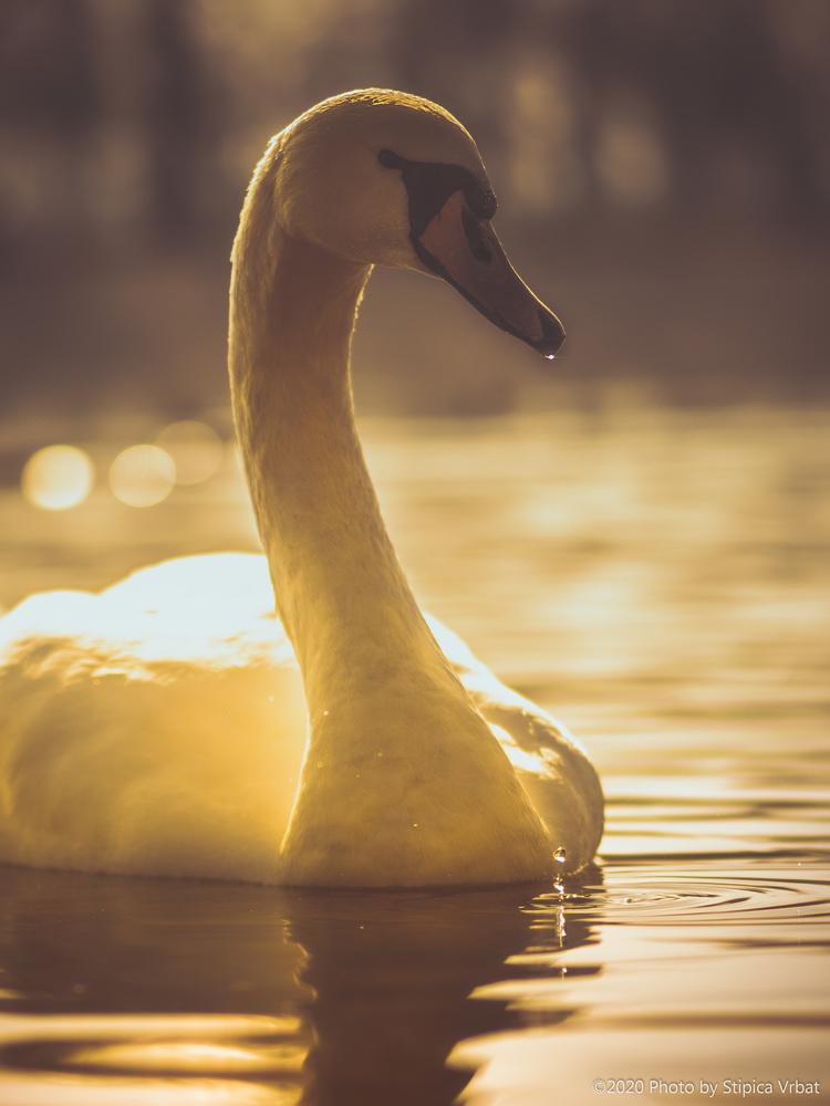 Swan king by Stipica Vrbat