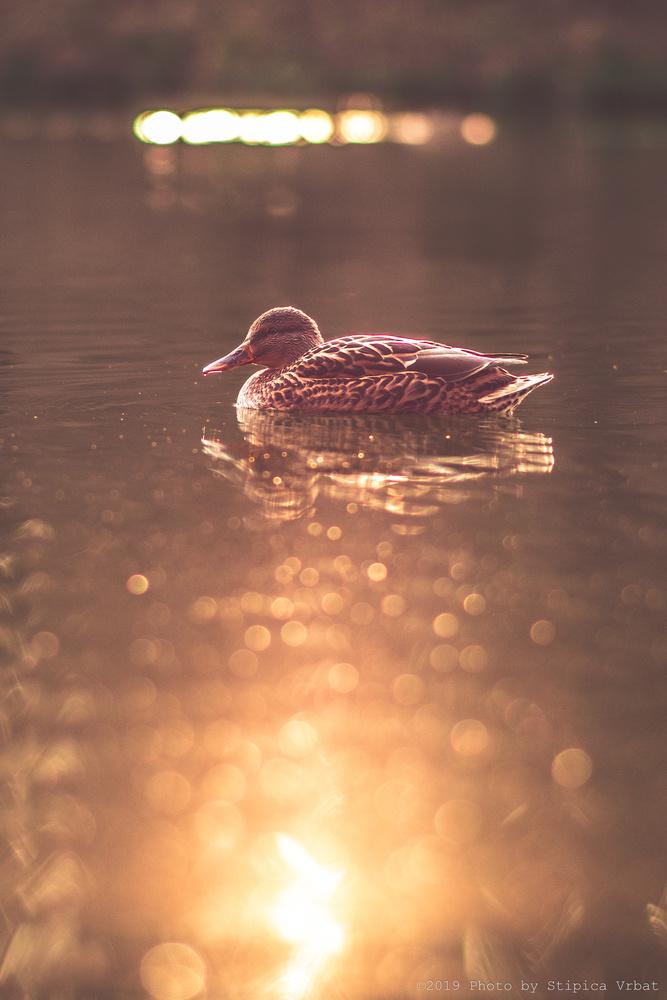 Duck by Stipica Vrbat