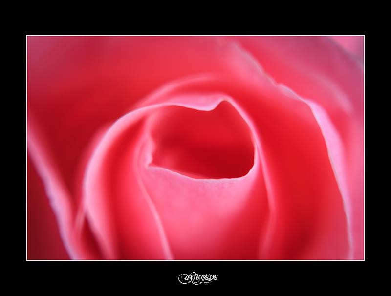 rose by Agis Ferentinos