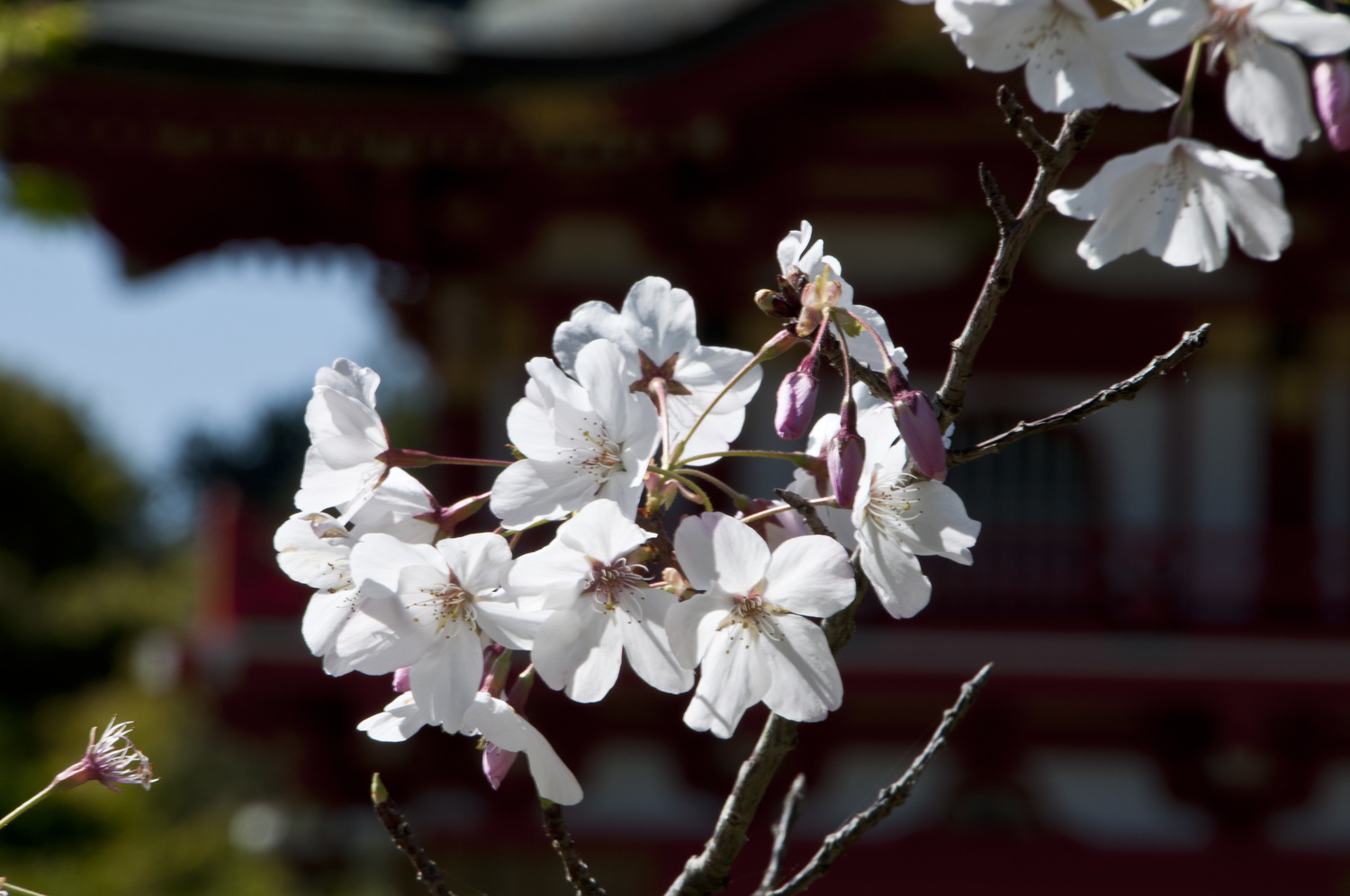 Cherry Blossom #3 by Christopher Reese