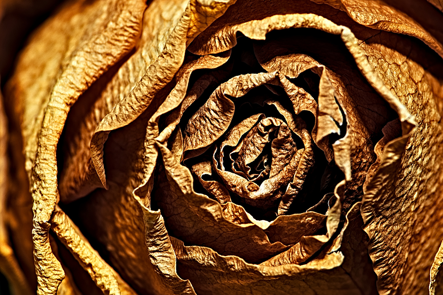 Close Up of a Dried Rose by Tong Thao