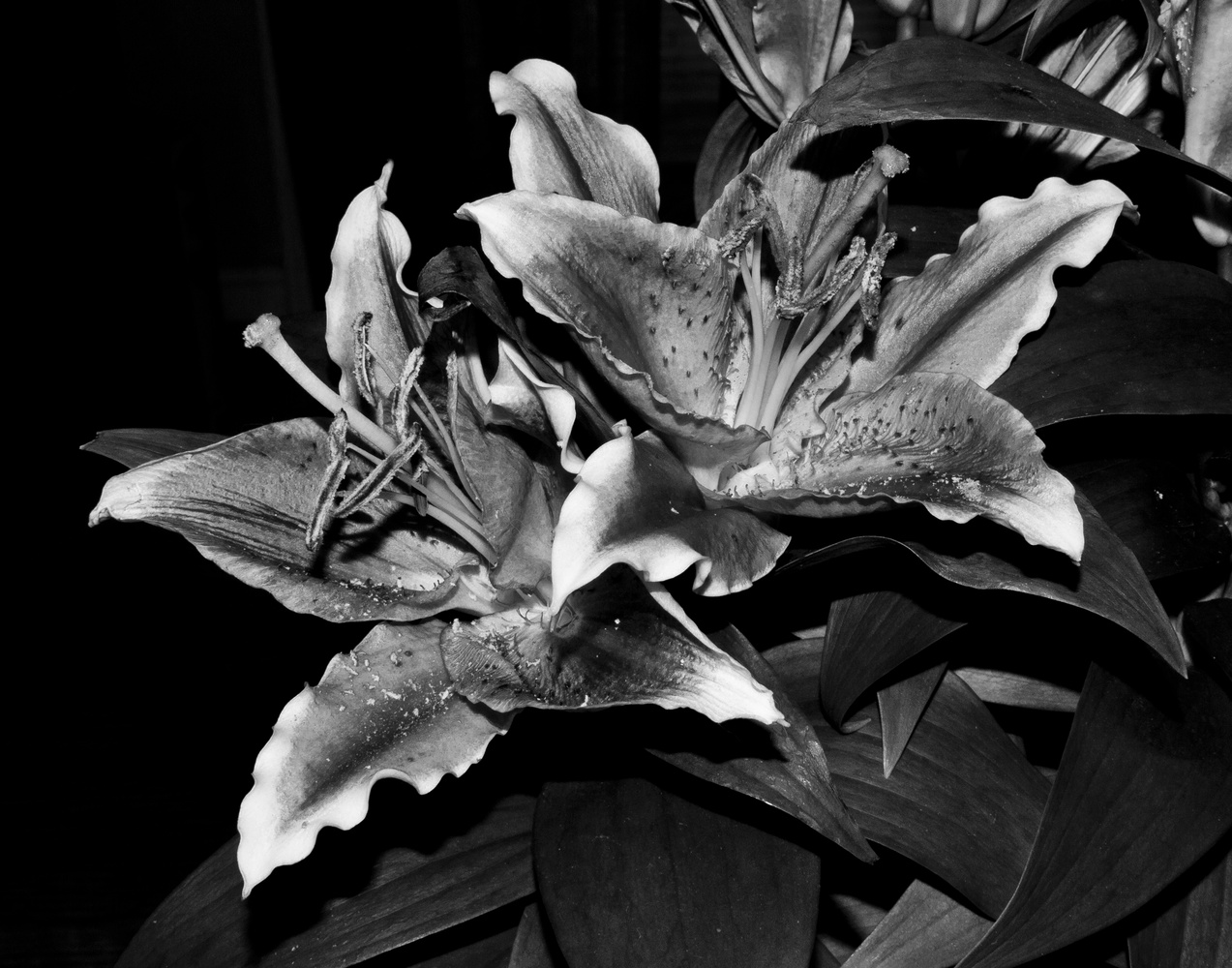 Oriental Lilies by James Jewers