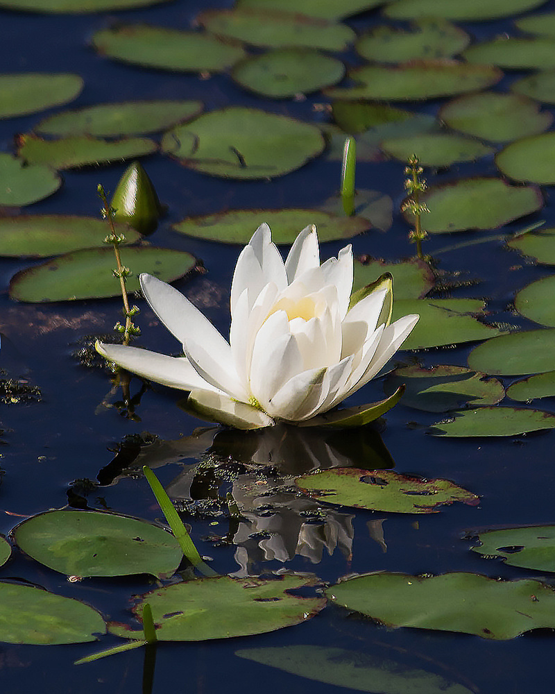 Floating Lily by Andy Marek
