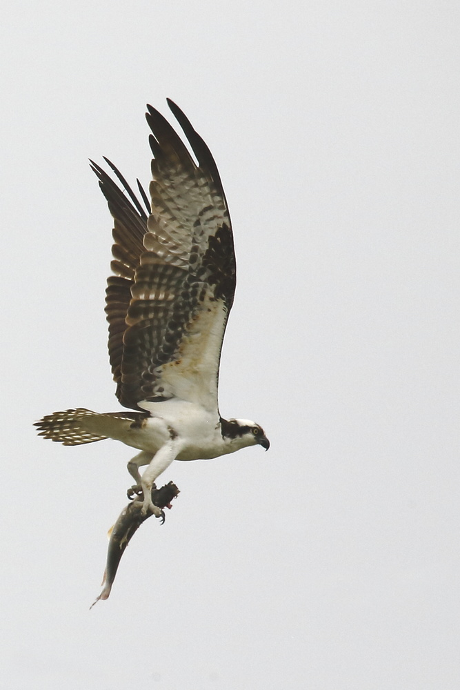 Osprey with fish. by Borden Thomas