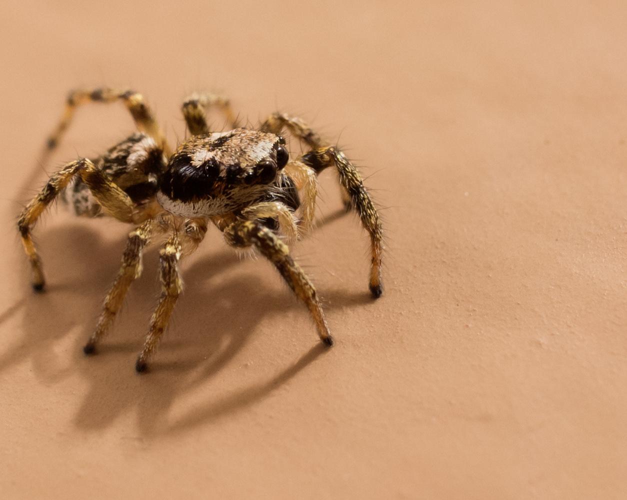 Jumping Spider by Robert Felker