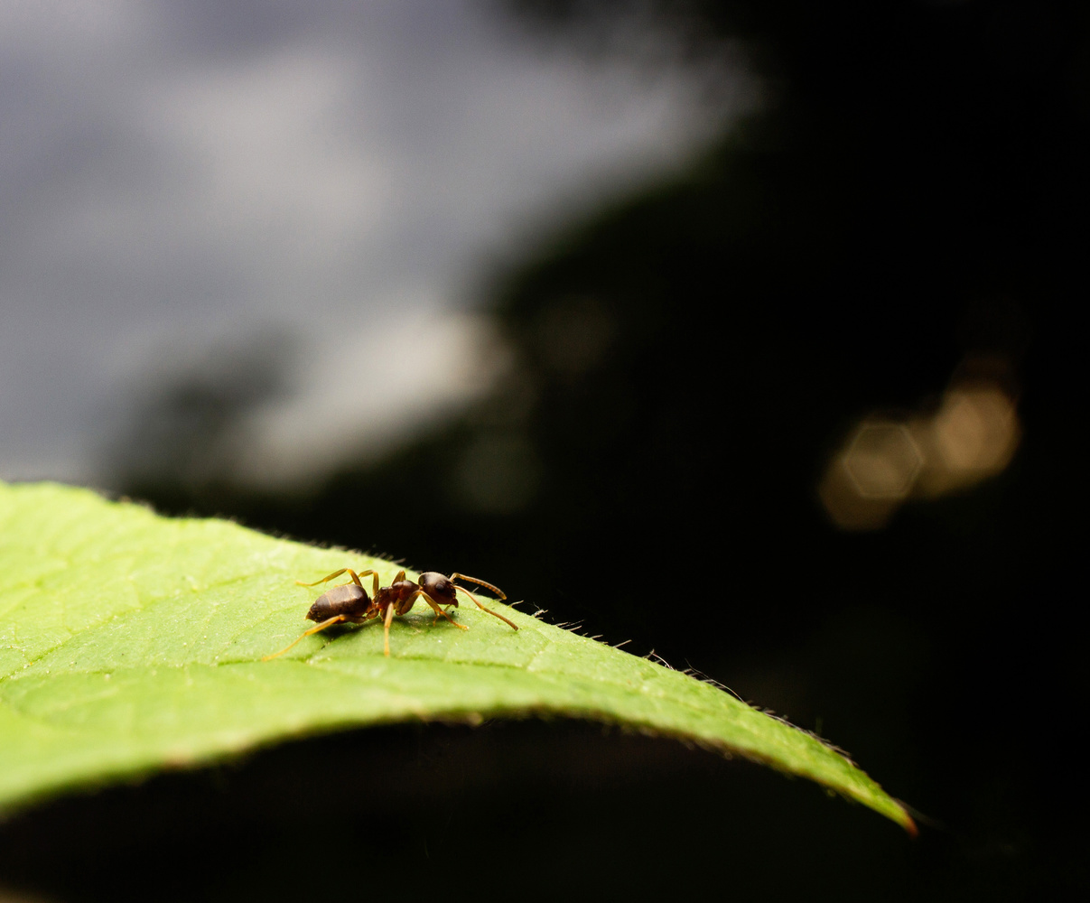 Ant on a Leaf by Robert Felker