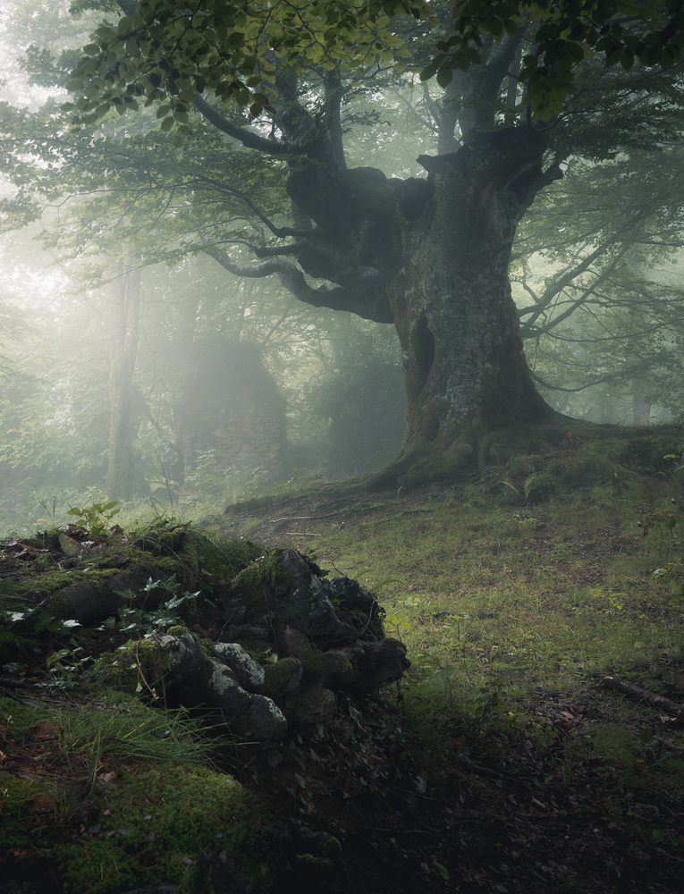 The old beech by Daniel Martin