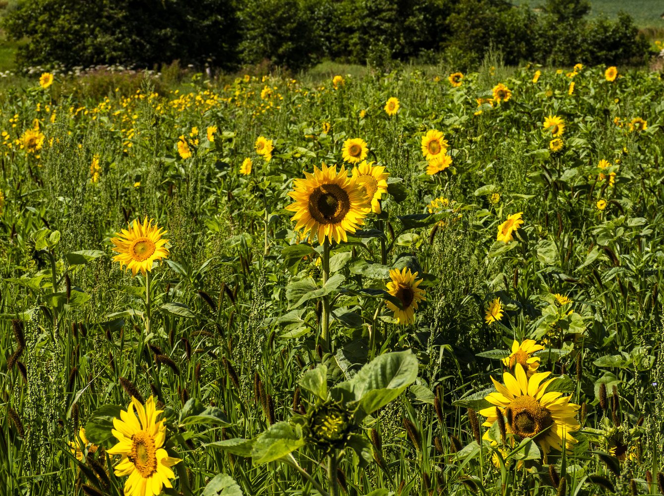 Sunflowers by Richard Gale