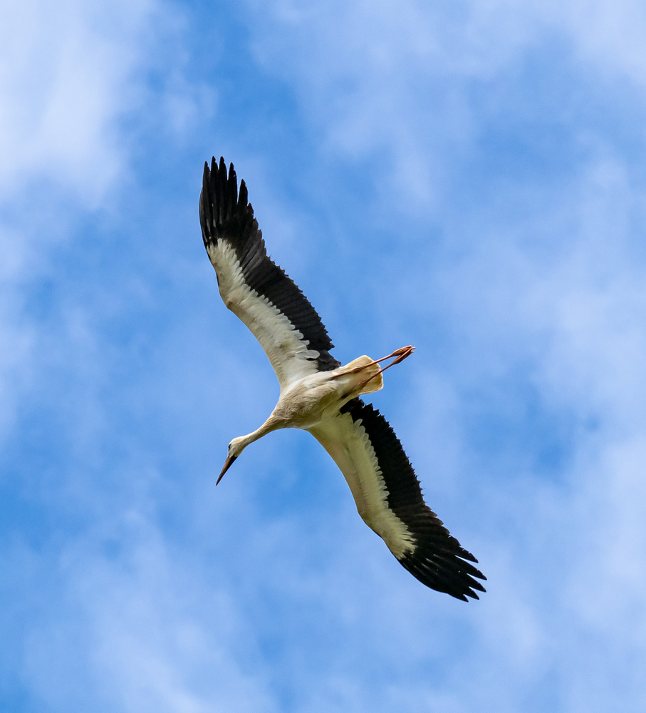 Stork by Richard Gale