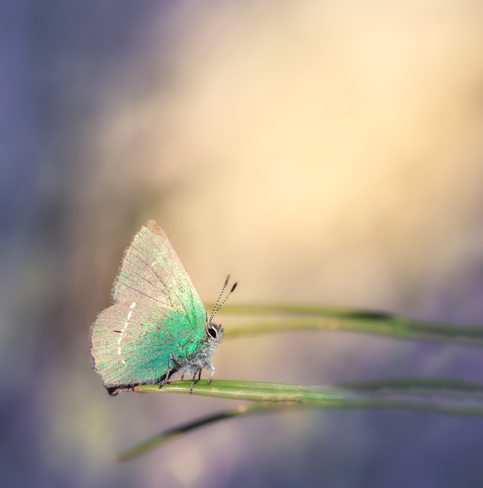 Callophrys rubi by Tiago Marques
