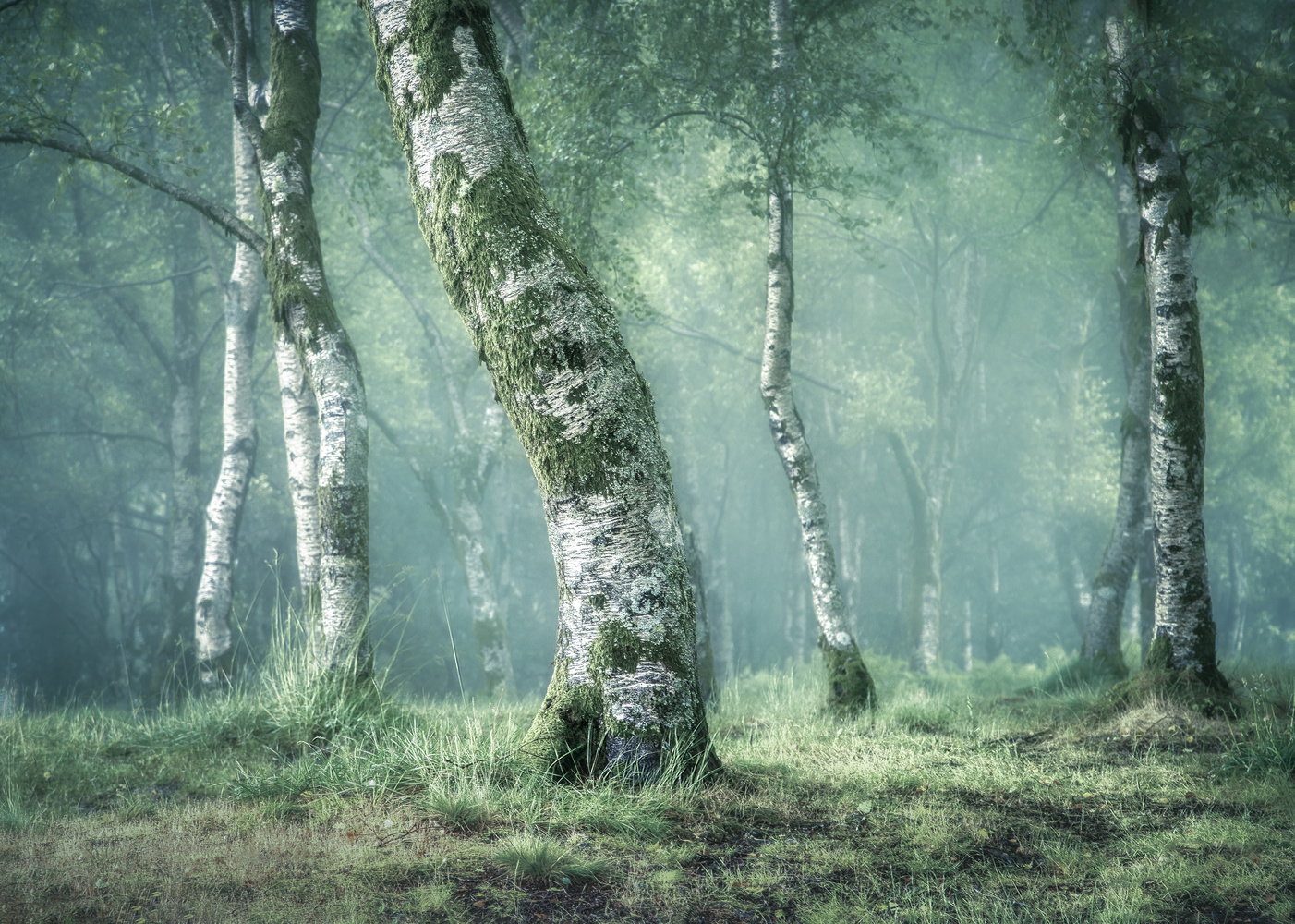 Birch Photo Collection. 4 by Tiago Marques