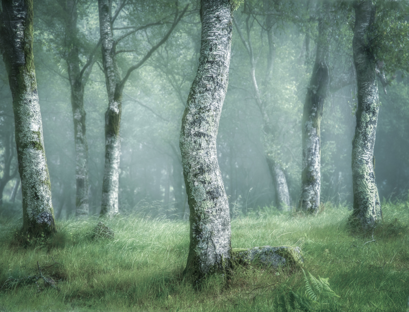 Birch Photo Collection. 5 by Tiago Marques