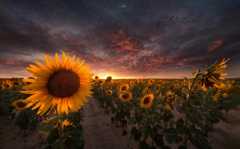 Sunflower fields by Rubén Vela Martín
