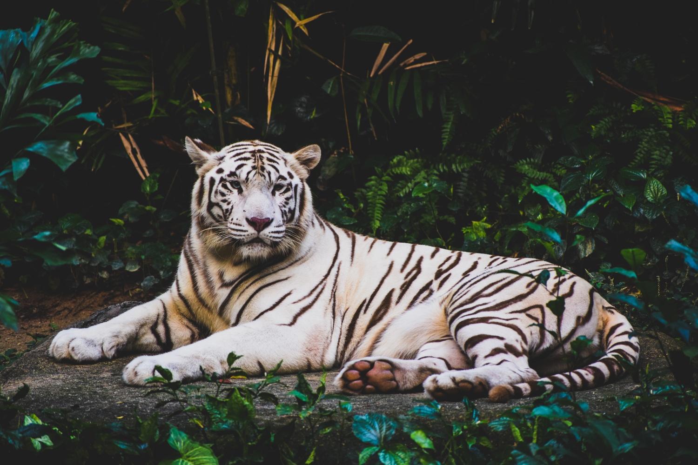 White tiger sitting on ground by angel elina