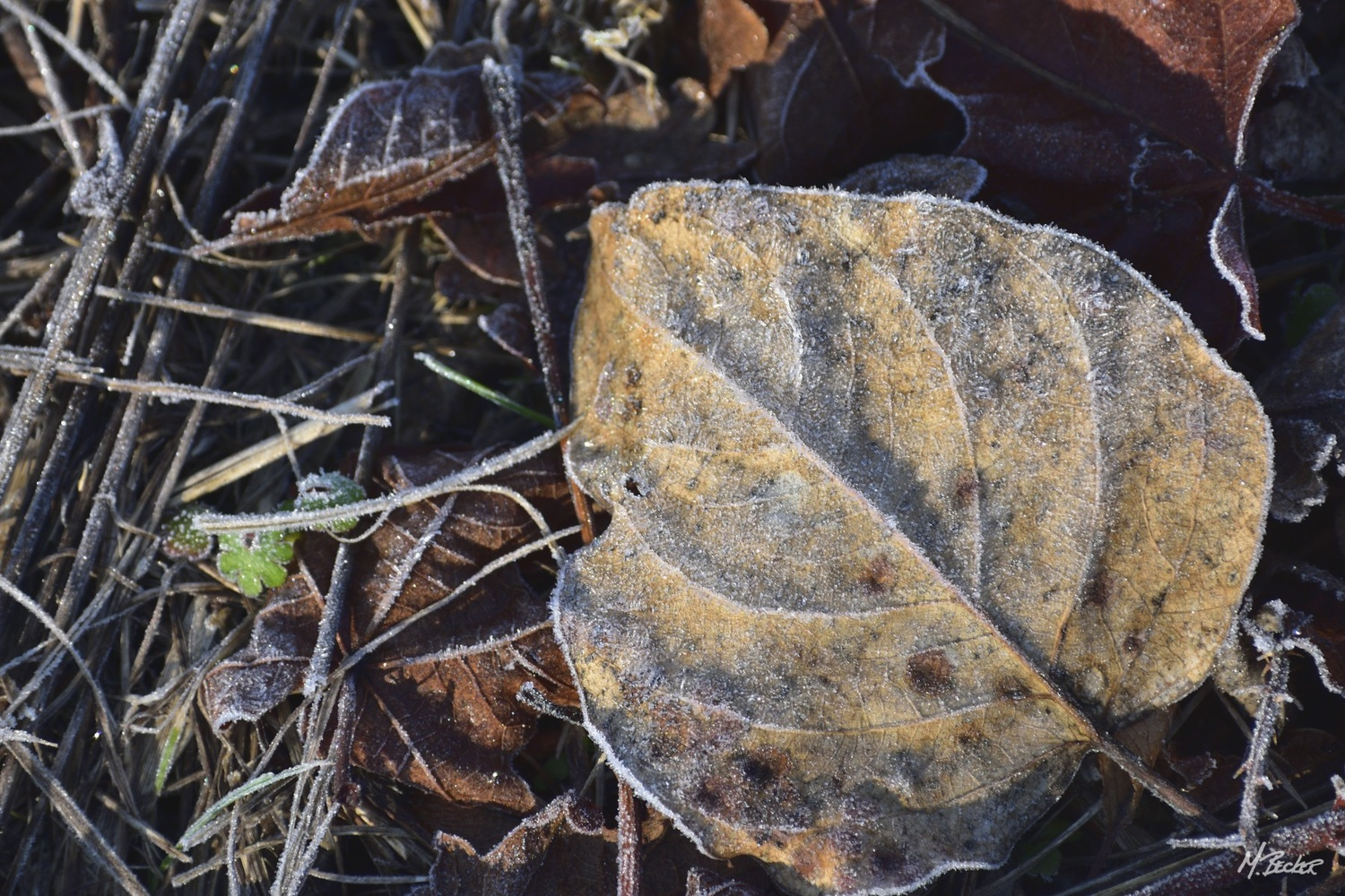 FROZEN LEAVES by Michael Becker