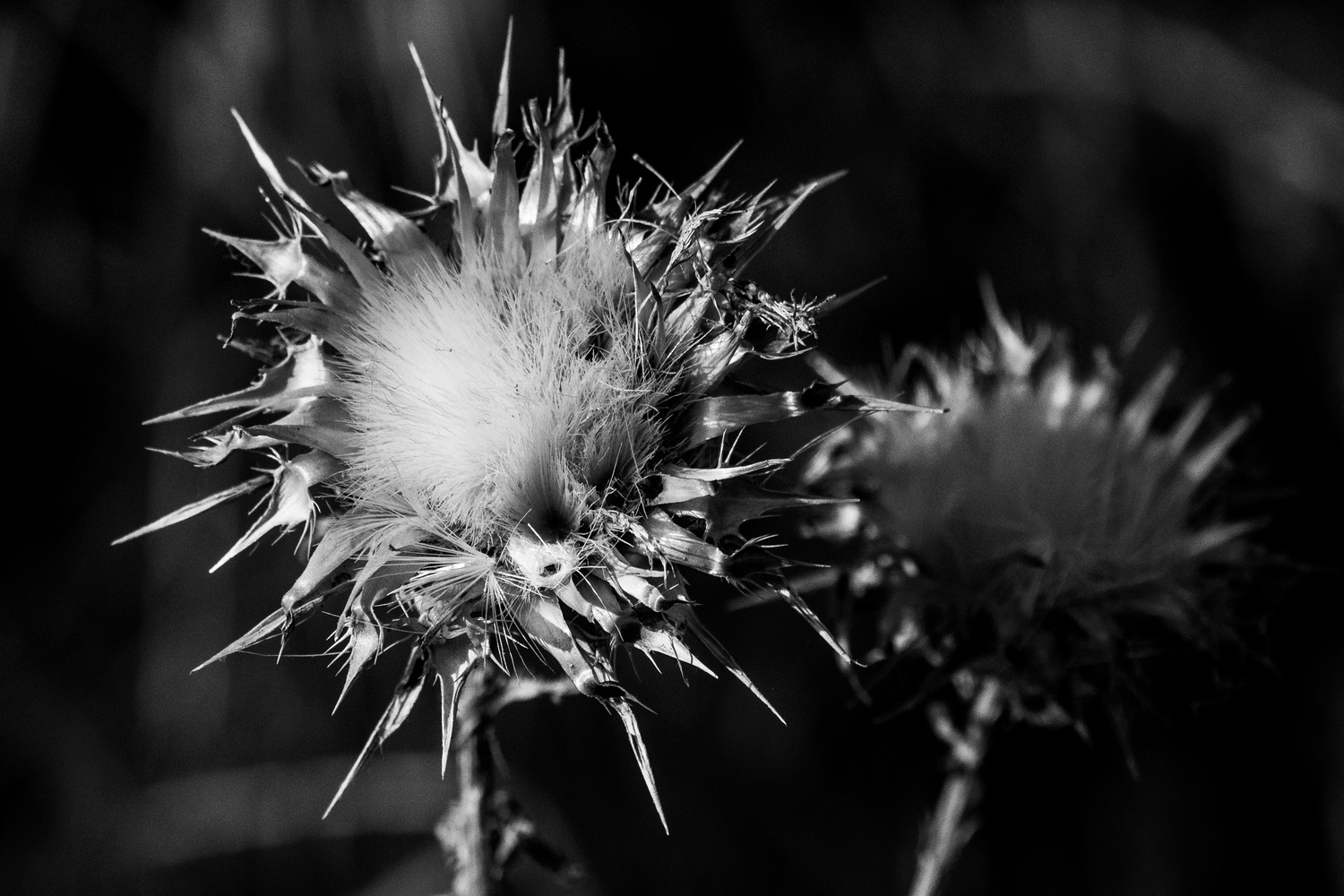 Dying Thistle by Jacob Pelley